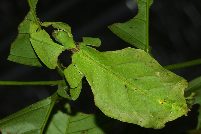 Leaf insect on a leaf